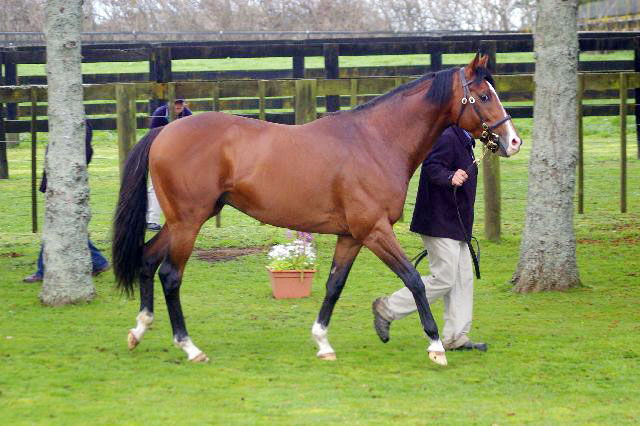 Sir Percy parading at the Rich Hill Stud open day in New Zealand
